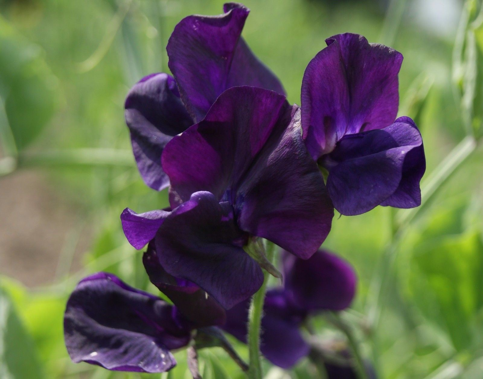 Primary image for 50 ROYAL Maroon Climbing Sweet Pea,both in the garden and brought inside.