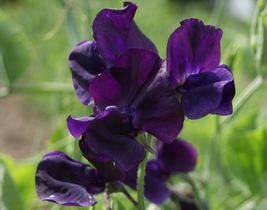 50 ROYAL Maroon Climbing Sweet Pea,both in the garden and brought inside. - $11.40