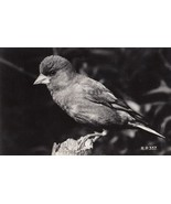 Greenfinch Valentines Real Photo Old Bird Postcard - $5.49
