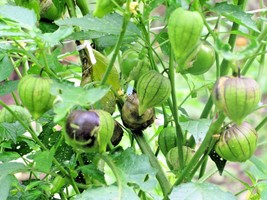 SHIPPED FROM US 100+PURPLE DE MILPA TOMATILLO Organic Non-Gmo Seed, CB08 - $17.00