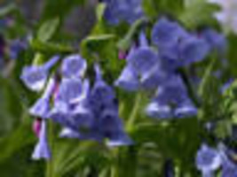 Virginia Bluebell flower 20 root- Shade Lover (Mertensia) image 1