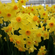 Grand Soleil D'Or Paperwhite Narcissus 4 Bulbs - Indoors - Fragrant - 15/16 cm - $30.99