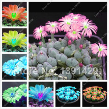 Hot Sale! Exotic Seeds Ass Flower Raw Stone Cactus Seeds, Semillas De Fl... - $8.17