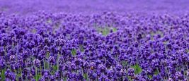 1000 SEEDS - Beautiful Lavender Seeds – Gardening – Perennials - SBC - $19.95