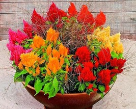 2500+CELOSIA MIX Flower Seeds Pampus Plume/Feathery Amaranth Garden/Cont... - $2.75