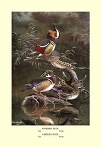 Mandarin and Carolina Ducks by Allan Brooks - Art Print - $19.99+