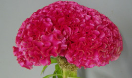 Dark Pink Huge Brain Celosia! 50 SEEDS! 2-4 ft. tall Comb.S/H! OLD AMISH... - $15.98