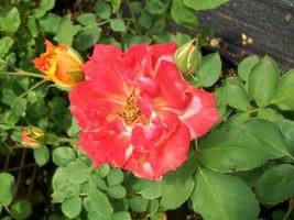 Pinata Yellow Orange Rose 2 Year Live Bush Plants Shrub Plant Fine Roses - $43.60