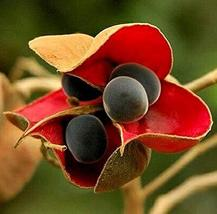 10 Seeds Black Pearl Tree, Majidea zangueberica, Mgambo, Showy Tree, Zon... - $14.83
