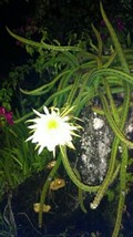 Night Blooming Cereus Cactus 4 Rooted Cacti Easy to Grow Queen of the Ni... - $25.12