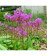 SHIPPED FROM US 100+MIDLAND SHOOTING STAR Woodlands Prairie Flowers Seed... - $17.00