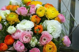 Persian Buttercup 10 Bulbs- 6/7 cm - Ranunculus Tecolote Mix - Hardy - $30.99