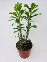 """Pink Crown of Thorns 6"""" Pot -JMBamboo - $29.39"""