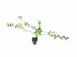 Abelia Grandiflora Francis Mason - Live Plants - Flowering Deer Resistant  - $28.60+