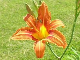 10 WILD DAYLILY fans/root systems  image 5