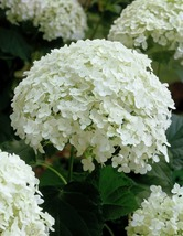 Live Plant - Annabelle Smooth Hydrangea Arborescens - 2 Gall Pot -Outdoor Living - $130.99