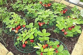 Strawberry Supports - Easy to Use Strawberry Plant Support with 3 Sturdy... - €45,93 EUR