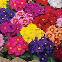 100pcs/lot Primrose,Primula vulgaris seeds Easy to grow, Bonsai potted plant DIY - $6.52
