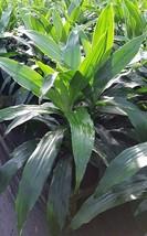 Dracaena Deremensis  Janet Craig - 5 Live Plants in 6 Inch Pots - Indoor... - $118.77