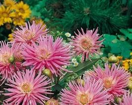 BEST PRICE 20 Seeds Park Princess' Pink Spider Dahlia,DIY Flower Seeds E3479 DG - $4.80