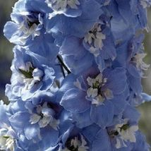 25 Seeds Mid-Blue Magic Fountains with White Bee Delphinium Flower Perennial - $16.65
