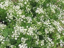 1,500 Fresh Seeds - Caraway Herb - $12.08