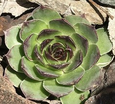 Sempervivum Tectorum Hens and Chicks Cactus Cacti Succulent Plant for Decoration - $34.00