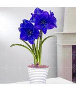 True Blue Amaryllis Bulbs, Barbados Hippeastrum Bulbs, Big Flower, 2 Bulbs - ₹907.35 INR