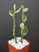 "Ship From Us, 2"" Pot Pedilanthus Tithymaloides White, Succulent Plant Cacti Ecc - $32.99"