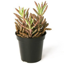 6 Frog's Leg Plants / Potted / Free Shipping - $19.79