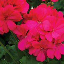 50 Hot Pink Geranium Seeds Hanging Basket Perennial Flowers Flower - TTS - $29.95