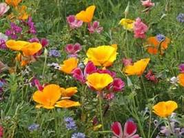 SHIP From US, 2 oz 42K Seeds California Wildflower Mix, DIY ZJ - $52.35