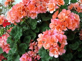 10 Geranium Salmon Color Seeds - $9.45