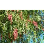 10 Peruvian Pepper Tree Seeds Schinus molle - $9.90