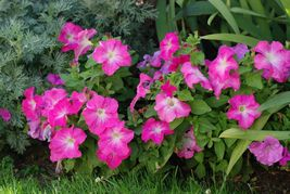 Heirloom 2000 Seeds Garden Petunia Grandiflora Hedgiflora Multiflora Flo... - $7.33
