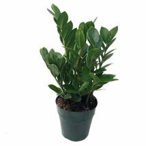 ZZ Zamioculcas Zamiifolia Live Rare Houseplant - $43.90