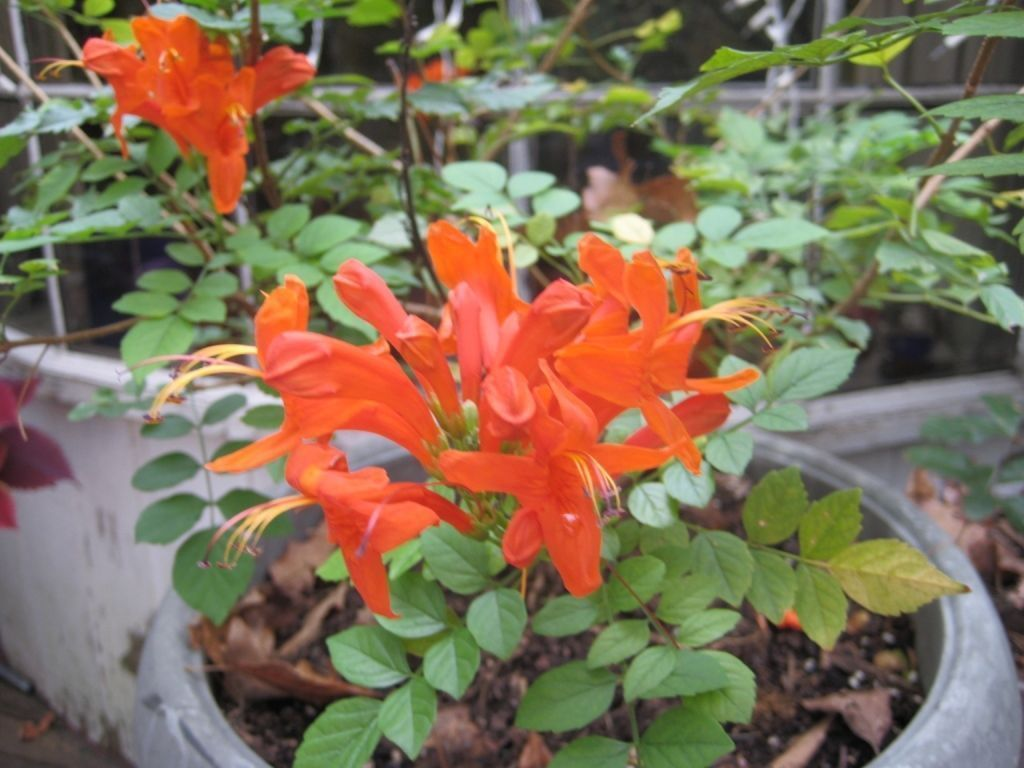 15 Cape Honeysuckle Tecomaria Capensis Bonsai Seeds Rare Exotic Bonsai Seeds