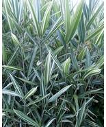 Starter Plant Pleioblastus Fortunei Dwarf Whitestripe Bamboo - $19.79
