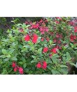 Live Starter Plant Sage 'Hot Lips' Salvia House Plants Hardy - $34.64