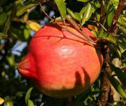 25 seeds - Pomegranate Fruit Tree Punica Granatum Red #SFB15 - $17.99