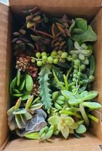 25 Varieties of Assorted Succulent Plant Cuttings Green Garden Beauti Home - $33.43