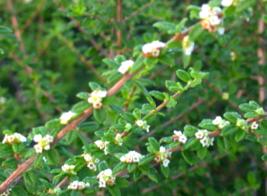 Bahama Berry Nashia inaguensis live plant - $35.00