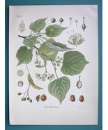 LINDEN TREE Medicinal Plant Tilia Europaea - Beautiful COLOR Botanical P... - $21.42