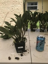 Pot Triple Love CATTLEYA Orchid Plant Pot BLOOMING SIZE 0503 T image 2