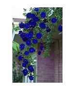 100 Seeds / Pack, Rare Blue Climbing Rose Seeds, Very Ornamental Climbin... - $12.70
