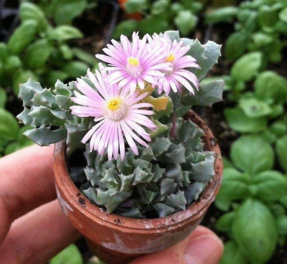 Primary image for 'PINK ICE PLANT' MESEMBRYANTHEMACEAE LAMPRANTHUS DELTOIDES OSCULARIA DELTOIDES