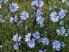 BLUEST BLUE CHICORY 100+ SEEDS ORGANIC, BEAUTIFUL BLUE CUT FLOWER - $2.50