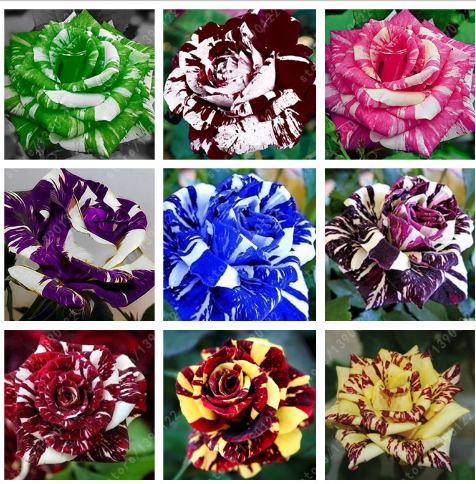 100pcsbag rose seeds tiger striped rose rare bonsai flower seeds rainbow green
