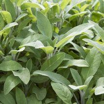 Bulk Broadleaf Sage Potpourri Aroma Herbs Salvia Officinalis 300Seeds FREE SHIP - $13.39