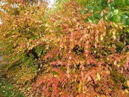 American Hornbeam tree (Carpinus caroliniana) quart pot image 6